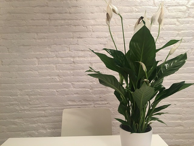 peace_lily