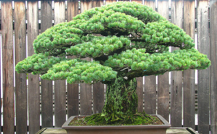 old-Bonsai-Tree